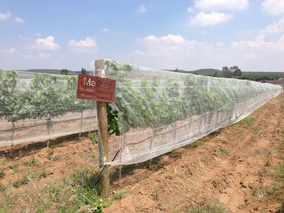Fortalecerán competitividad en viñedos de Querétaro