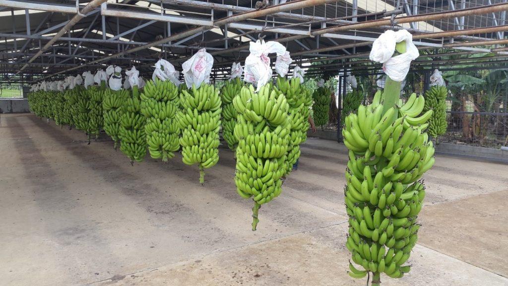 banana-production-credit-prime-fruits