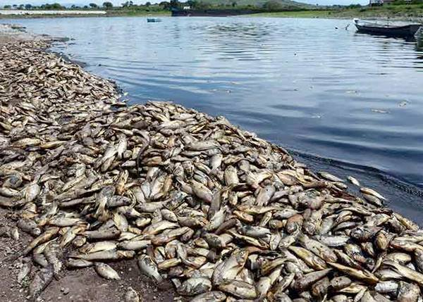 Peces muertos Guatemala