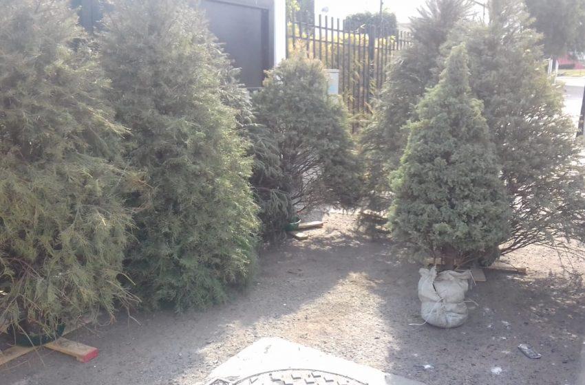 Arranca campaña de recolección de árboles de Navidad en El Marqués