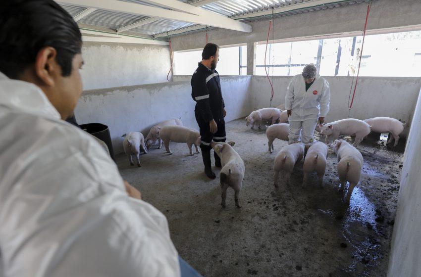 Generarán producción de carne en la Granja Experimental Porcina de la UAQ