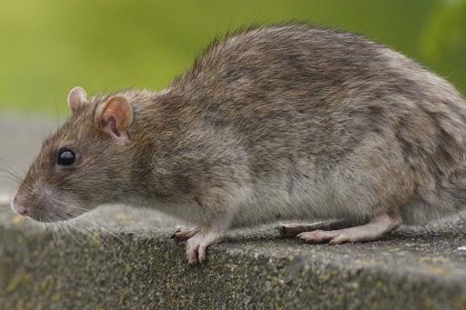 Se desata en China temor ante nuevo virus mortal relacionado con roedores