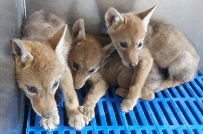 Rescatan a cuatro cachorros de coyote en Guanajuato
