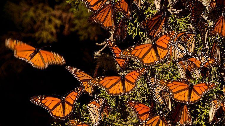 Incendios afectan 100 hectáreas en Biósfera de la Mariposa Monarca