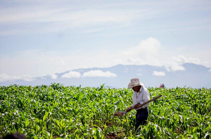 Estima SEDEA incremento de 25% en cosechas para este temporal