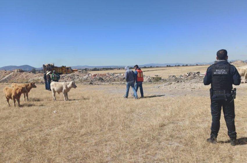Recuperan 11 cabezas de ganado víctimas de abigeato en San Juan del Río