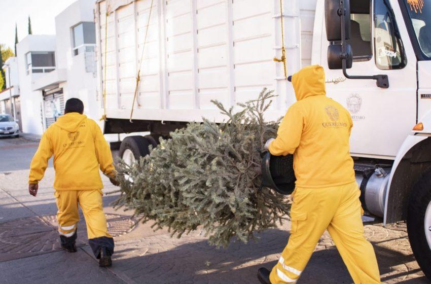 Municipio de Querétaro prepara campaña de recolección de árboles naturales de navidad