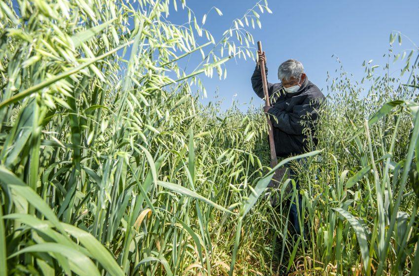 Muestran a productores de El Marqués cultivo de ebo y avena